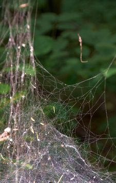 Spider Web Without Spider  On Tree Royalty Free Stock Image