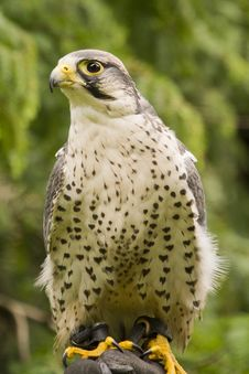 Free Peregrine Falcon Stock Photos - 34532603