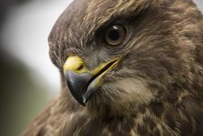 Free Portrait Of A Buzzard Stock Images - 34533274