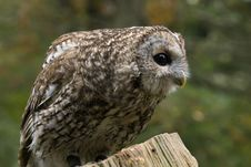 Free Portrait Of A Tawny Owl Royalty Free Stock Photo - 34533365