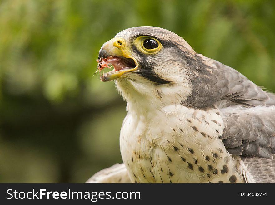 Peregrine falcon eating
