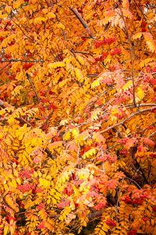 Free Multicolored Paint Autumn Rowan Stock Photography - 34576362