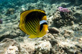 Free Butterfly Fish Royalty Free Stock Photo - 34580145