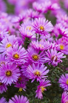 Free Purple Flower Stock Photos - 34580293