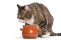 Free Hungry Tabby Cat Royalty Free Stock Images - 34591449