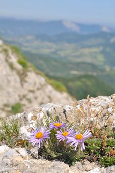 Wild Aster Stock Images