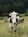 Free Cow Royalty Free Stock Photos - 3464098