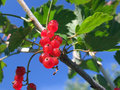 Free Red Currant Royalty Free Stock Image - 3464866