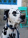 Free Dalmation - Portrait Royalty Free Stock Image - 3468556
