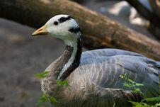 Free Goose Stock Image - 3460331