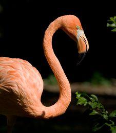 Free Flamingo Royalty Free Stock Photo - 3460595