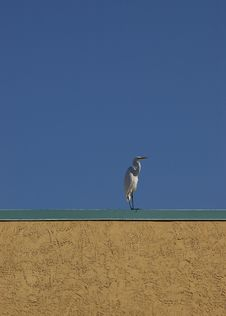 Free Great White Egret Stock Photos - 3462343