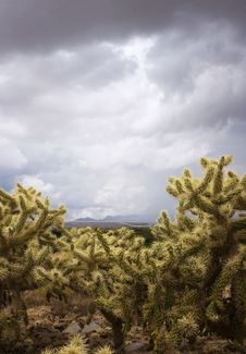 Free Cholla Cactus On A Cloudy Day Stock Photography - 3462772