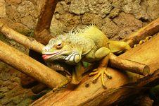 Free Iguana Royalty Free Stock Image - 3463196