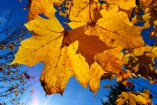Free Yellow Autumn Maple Leaves Royalty Free Stock Images - 3463199