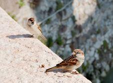 Free Sparrows Royalty Free Stock Photo - 3464285