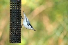Free White-breasted Nuthatch Stock Photo - 3464450