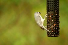 Free Tufted Titmouse Stock Photography - 3464462