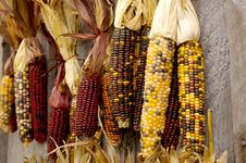 Free Indian Corn Royalty Free Stock Image - 3465346