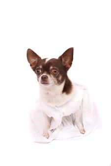 Free Chihuahua Royalty Free Stock Image - 3465996