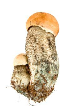Free Orange-cap Mushroom Royalty Free Stock Images - 3466559