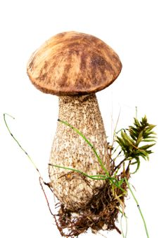 Brown Cap Mushroom Royalty Free Stock Images