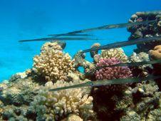 Free School Of Cornetfish Royalty Free Stock Image - 3468446