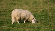 Free Lone Sheep Royalty Free Stock Image - 3468666