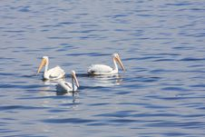 Free Pelicans Royalty Free Stock Images - 3469599