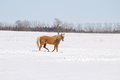 Free A Gold Colored Horse Walking Across Snow Stock Image - 34606231