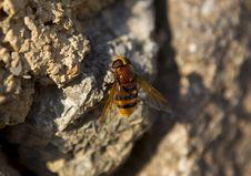 Bumblebee On A Rock Stock Photos