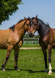 Free Two Horses One Head Royalty Free Stock Photos - 34607408