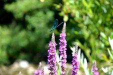 Dragonfly &x28;Odonata Sp.&x29; Stock Images