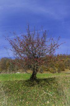 Free Small Hawthorn Royalty Free Stock Photo - 34608085