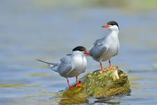 Free Common Tern Stock Photo - 34608430