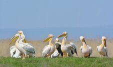 Free Pelicans Stock Image - 34608491