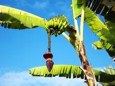 Free Banana Royalty Free Stock Photos - 34608778