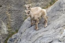 Free Young Mountain Goats Stock Photos - 34612323