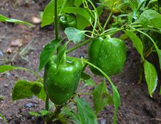 Free Ripe Green Pepper In Garden Stock Image - 34613891