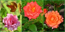 Free Roses Collage Stock Photography - 34625602