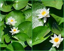 Water Lilies Collage Stock Image
