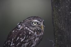 Free Little Owl Royalty Free Stock Image - 34626916