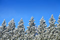 Free Icy Trees In A Row Royalty Free Stock Photos - 34631318