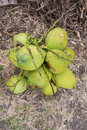 Free Green Coconuts Stock Photo - 34631810