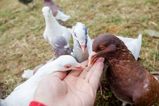Free Feed Pigeons Stock Photo - 34630410