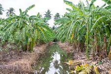 Free Banana Tree Plantation Stock Photo - 34631750