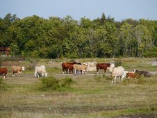 Cattle On The Island Oland Royalty Free Stock Photos