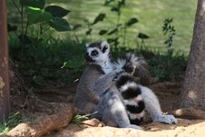 Free Lemur Royalty Free Stock Image - 34636846