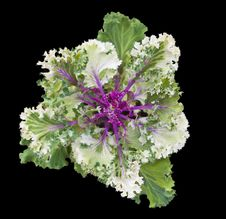 Free Kale Ornamental Stock Photos - 34643463