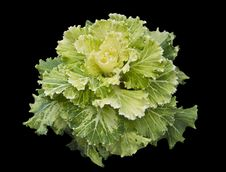 Free Kale Ornamental Royalty Free Stock Photos - 34643528